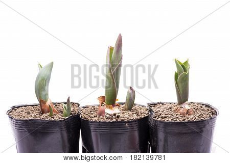 Tulip buds germinated from vinyl pots in front of white background