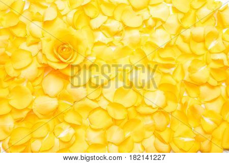 Yellow rose flower on pile of yellow rose petals