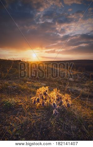Purple pasque-flowers during sunset in a Ukrainian valley.