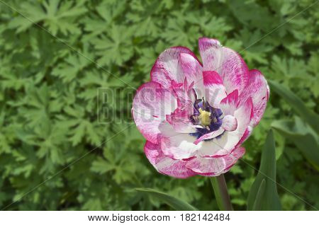 Background of single variegated white and pink tulip