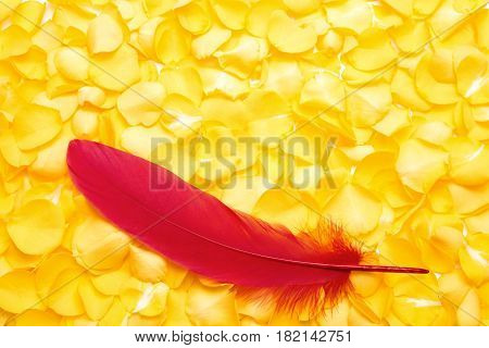 Red remiges feather on pile of yellow rose petals