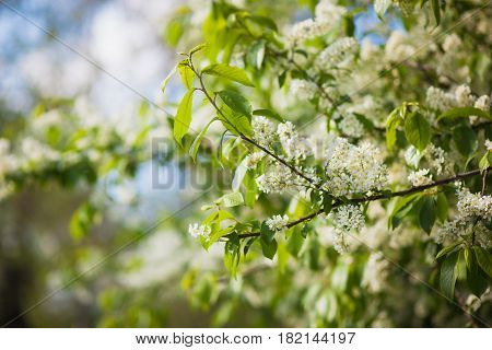 Branch Of A Blossoming Spring Bird Cherry Against The Blue Sky