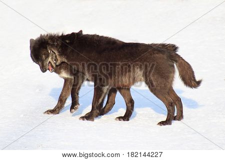 Two black canadian wolves frolicking on white snow. Animals in wildlife.