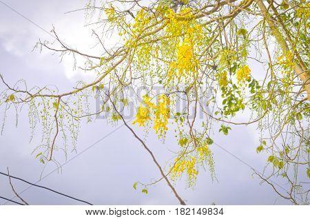 Golden shower or  Cassia fistula tree ,yellow flower