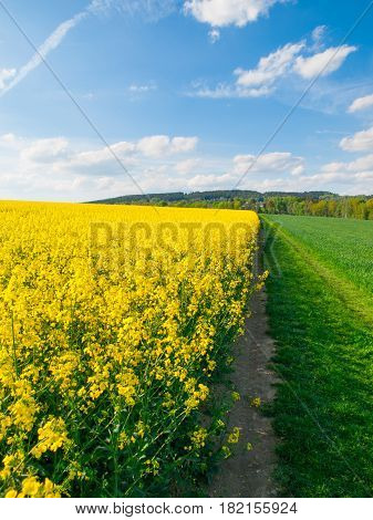 Field of rapeseed, aka canola or colza. Rural landscape with country road, green alley trees, blue sky and white clouds. Spring and green energy theme, Czech Republic, Europe.