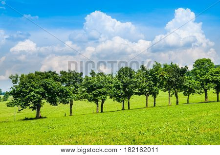Row of lush green trees in road alley on sunny summer day with blue sky and white clouds.