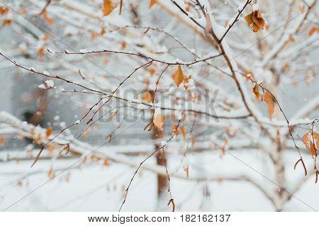 Hoarfrost on a birch leaf in November morning Hoarfrost on a birch