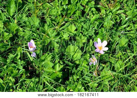 Wildflowers   in Apuseni Mountains, Transylvania. The Apuseni Mountains is a mountain range in Transylvania, Romania, which belongs to the Western Romanian Carpathians, also called Occidentali in Romanian. The Apuseni Mountains have about 400 caves.