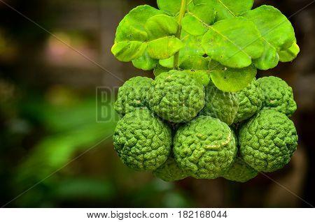 Close Up Big Group Bergamot On Tree