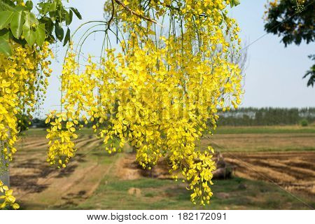 Thai golden flowers. Cassia fistula. Yellow bouquet. Thailand national flowers. Blooming flowers in summer of Thailand.