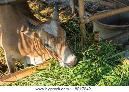 Thai cow eating grass in the stable