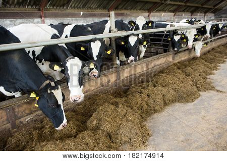 Cows indoor in a barn at a farm stable