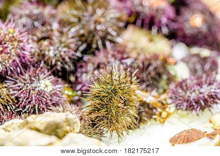 Fresh sea urchins on cooled market display