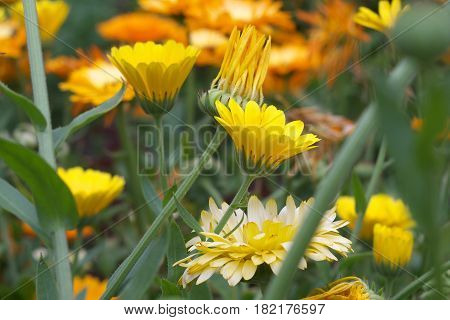 Marigold Yellow, Flower Petals , Calendula Flower In Garden