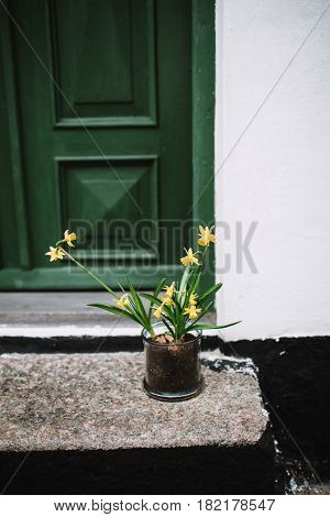 Daffodils in front of a house in Ribe Denmark