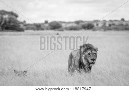 Mating Couple Of Lions In The High Grass.