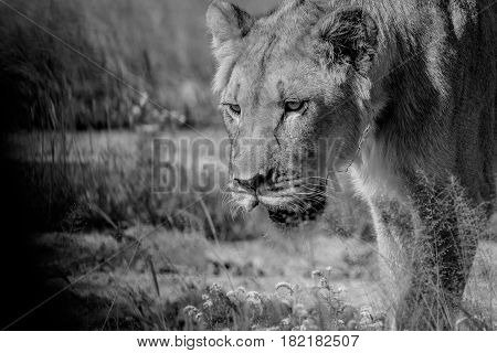 Close Up Of A Young Male Lion In Black And White.