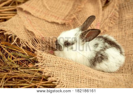 Cute rabbit small easter bunny domestic pet with long ears and fluffy fur coat lying on sackcloth on natural hay background