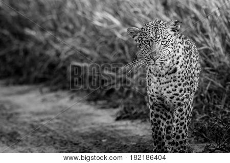 Leopard Starring At The Camera In Black And White.