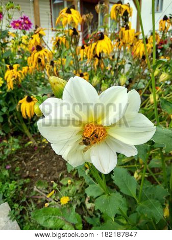 A warm day in a flower garden a bee sits on a flower