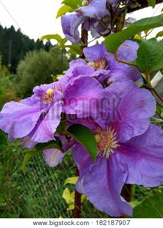 Beautiful large flower of purple clematis with pestle and stamen