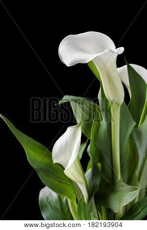 Beautiful white calla with green leaves. Isolated black background.