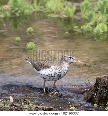 A Spotted Sandpiper (Actitis macularius) stands in a pond