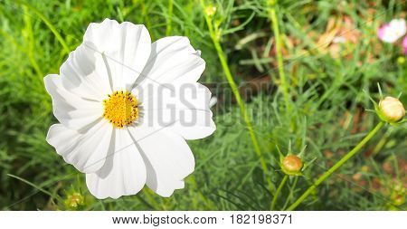 The single white cosmos flower in the wild farm at the Jim Thompson farm Nakornratchasrima province Thailand