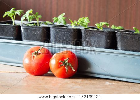 Saplings Of Tomatoes In Pots And Red Ripe Tomatoes Series