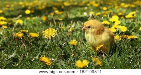 Cute yellow chick in colorful dandelion meadow