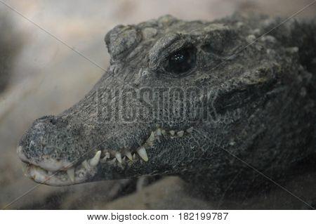 Close up of a dwarf crocodile on a rock