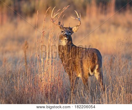 White-tailed buck in a field of tall grass at sunrise.