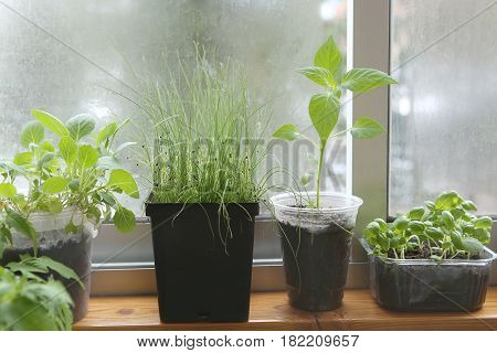 Spring seedlings: pepper, cabbages, basil and leeks. Vegetable seedlings in pots on windowsill.