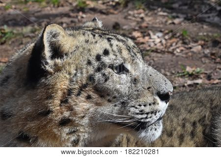 Close Up Side Portrait Of Snow Leopard