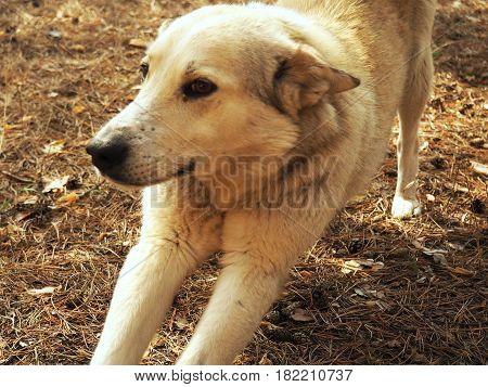 White German Sheepdog Weisser Schweizer Sch ferhund Berger Blanc Suisse