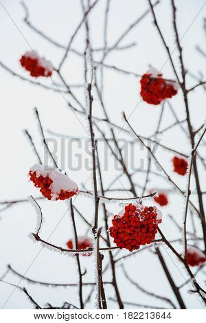 Bunches of red ashberry covered with snow.