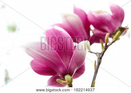 Pink flowers with green leaves of magnolia.