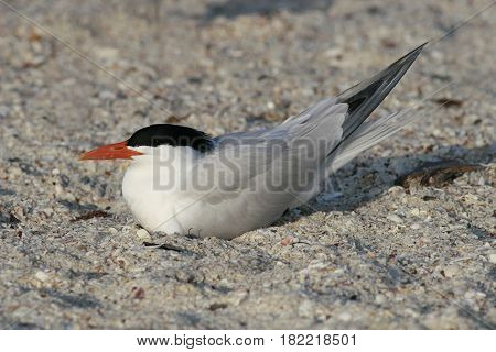 A Royal Tern in breeding plumage rests on a beach in Florida