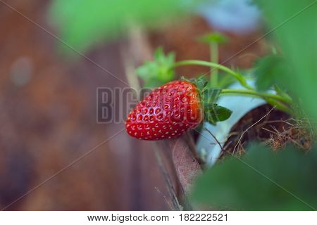 Strawberry Plant, Red Fruit In The Agriculture Farm
