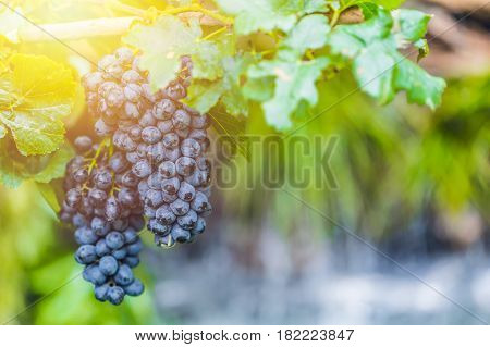 Wine Grape , Berry Fruit Of Deciduous Woody Vines Of The Botanical