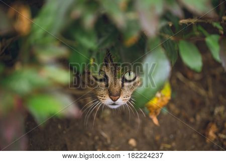 Hiding Wildlife Predator, Wild Cat Hide And Look Ready For Attack