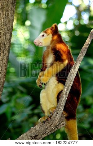 Tree kangaroo sitting on a tree branch, Papua New Guinea.