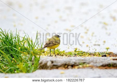 Adorable yellow wagtail bird. Romantic mood. Raining weather
