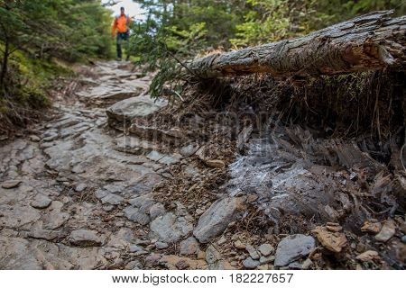 Needle Ice Along Side of Trail in the Smokies