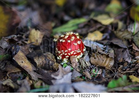 Autumn mushroom Amanita muscaria. Young mushrooms make their way through the ground.