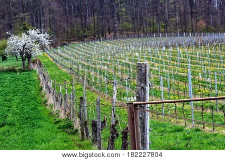 Spring landscape with rows of vineyard grape vines in Spessart Mountains, Germany