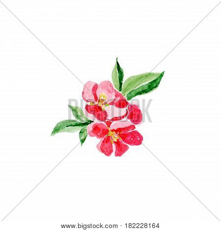 Japanese style. Botanical watercolor illustration of Red quince flower in blossom isolated on white background with description. Could be used as decoration for web design cosmetics design package textile card invitation
