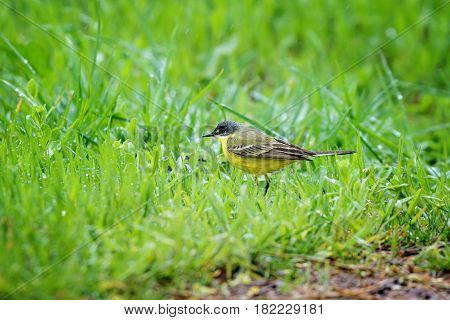 Adorable yellow wagtail bird in wet raw grass