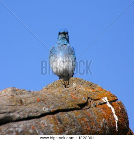 Mountain Bluebird on roof of log cabin in Grand Teton National Park Wyoming poster