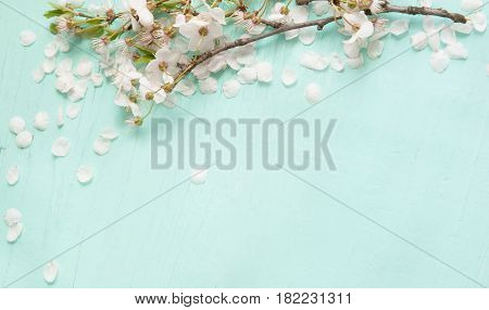 Amazing background With white cherry blossoms lying on turquoise texture. Beautiful Web Banner With Copy Space. Card for invitation congratulation.